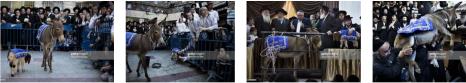 Eşeklik Uzmanı Yeni Akit Yahudi Düşmanlığında DörtNala